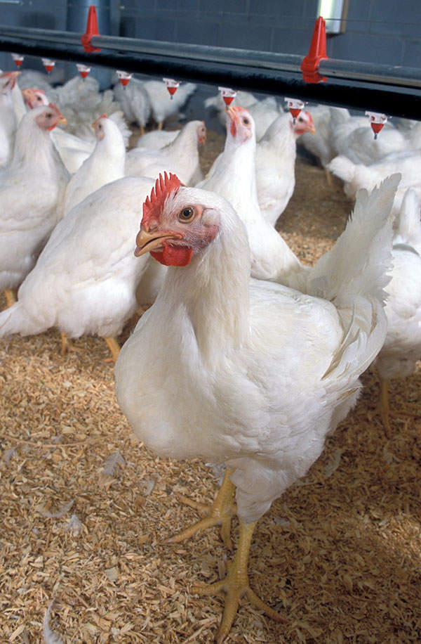Methionine is an amino acid used as an additive for poultry feed. Image courtesy of US Department of Agriculture.