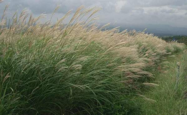 The Futurol Project will utilise non-food feedstock such as miscanthus perennial grass, wood wastes, green urban wastes, agricultural and forest residue. Image courtesy of Miya.m.
