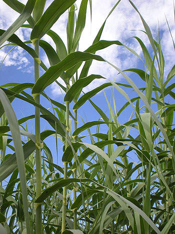 The cellulosic ethanol plant mainly uses Arundo donax as feedstock.